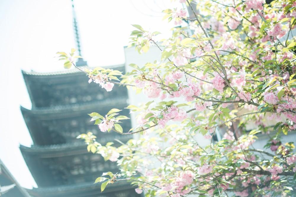 八坂の塔と八重桜