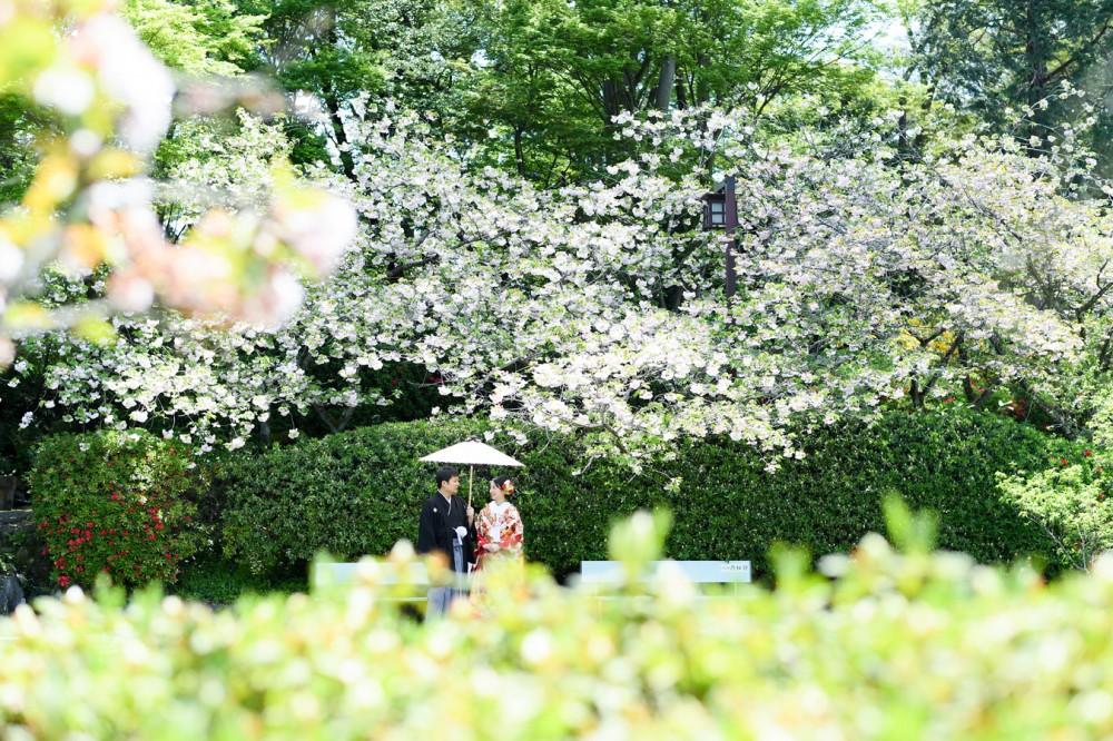 白い八重桜と新郎新婦。和傘をさしています。