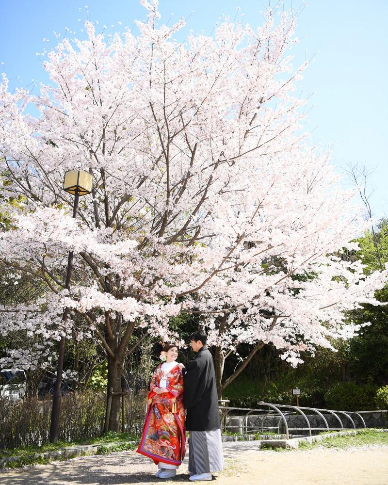 桜木の前で和装前撮り中。衣装は色打掛。